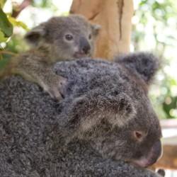 Koala mit Baby