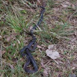 Schlange auf dem Weg zum Alligator Creek