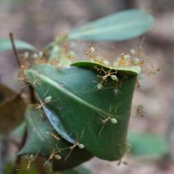 Lecker: Limonen-Arsch-Ameisen