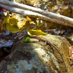 Gecko frisst Grashüpfer