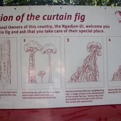 Ficus Baum - so funktioniert's