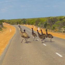 Eine Emu Familie
